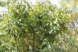EO rožnega lesa 5g-142