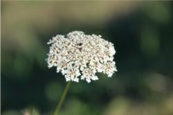 EO semen divjega korenja 5g, ekološko-134