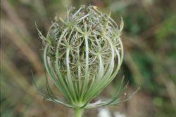 EO semen divjega korenja 5g, ekološko-0