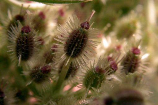 EO semen divjega korenja 5g, ekološko-135