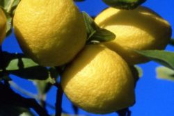 EO limone, ekološko-0