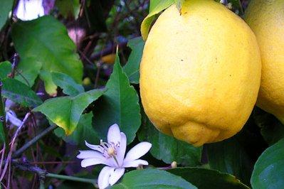 EO limone, ekološko-276