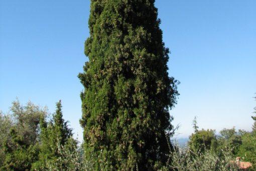 EO ciprese 5g, ekološko-176