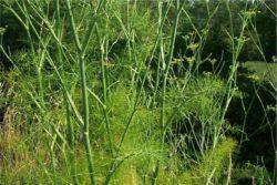EO sladkega komarčka 5g, ekološko-125