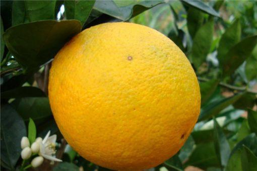 EO sladke pomaranče 15g, ekološko-0