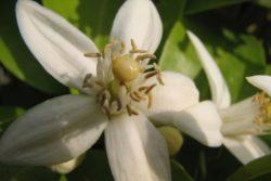 EO bele grenivke 5g, ekološko-170