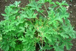 EO rožne pelargonije 5g, ekološko-157