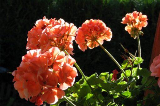 EO rožne pelargonije 5g, ekološko-0