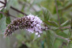 Hidrolat poprove mete, ekološki-16