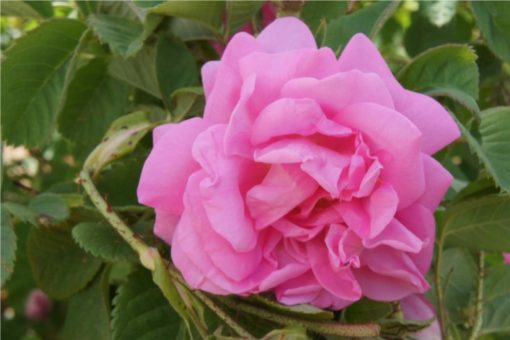 Hidrolat damaščenske vrtnice, ekološki-0