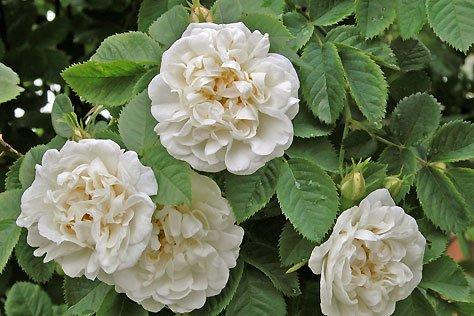 Hidrolat bele vrtnice, ekološki-0