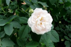 Hidrolat bele vrtnice, ekološki-24