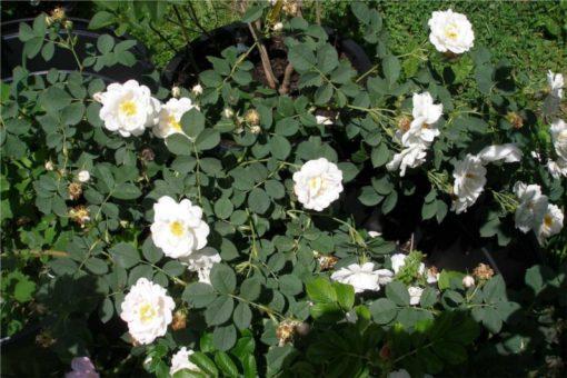 Hidrolat bele vrtnice, ekološki-25