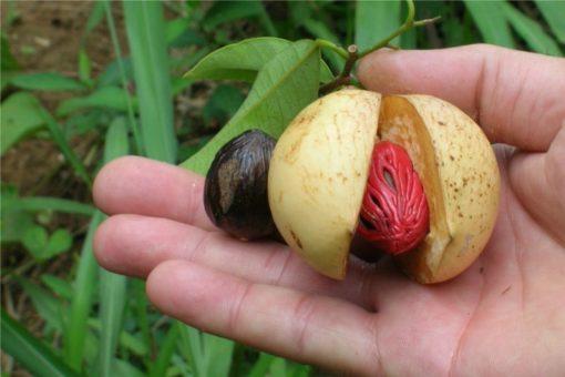 EO muškatnega oreščka 5 g, ekološko -308