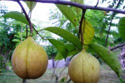 EO muškatnega oreščka 5 g, ekološko -0