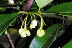 EO muškatnega oreščka 5 g, ekološko -307