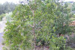 EO niaulija 15 g, ekološko -311