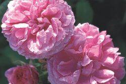 Hidrolat stolistne vrtnice, ekološki -0
