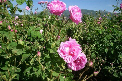 Hidrolat stolistne vrtnice, ekološki -372