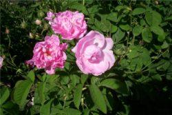 Hidrolat stolistne vrtnice, ekološki -371