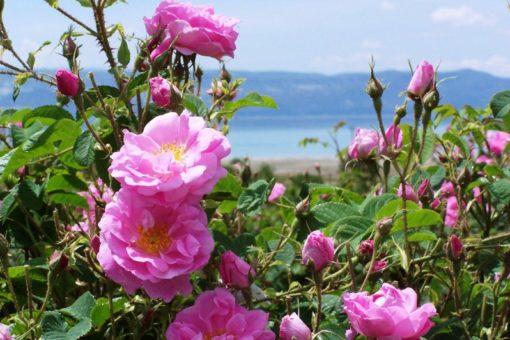 EO damaščanske vrtnice 2 g, ekološko -0