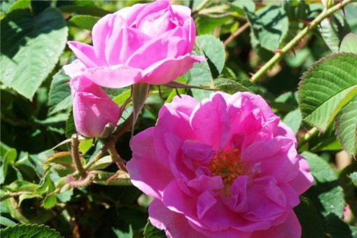 EO damaščanske vrtnice 2 g, ekološko -380