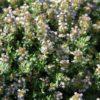 Hidrolat timijana linalool, ekološki-0