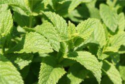 EO zelene mete 5 g, ekološko-0