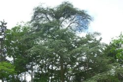 EO atlaške cedre, ekološko-440