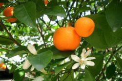 EO mandarine, ekološko-0