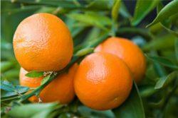 EO mandarine, ekološko-465