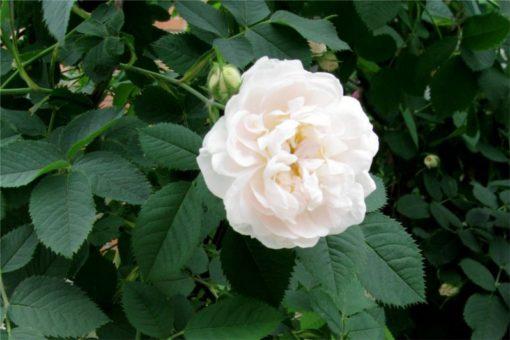 EO bele vrtnice 2 g, ekološko -0
