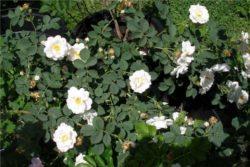 EO bele vrtnice 2 g, ekološko -479