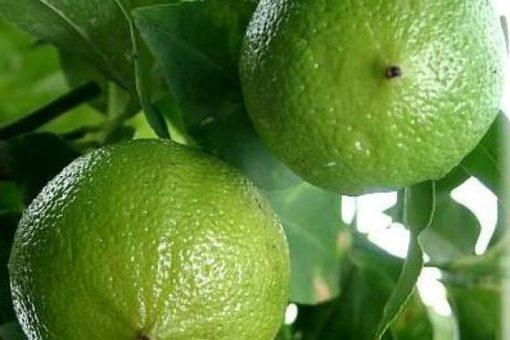 EO bergamotke, brez bergaptena, ekološko-0