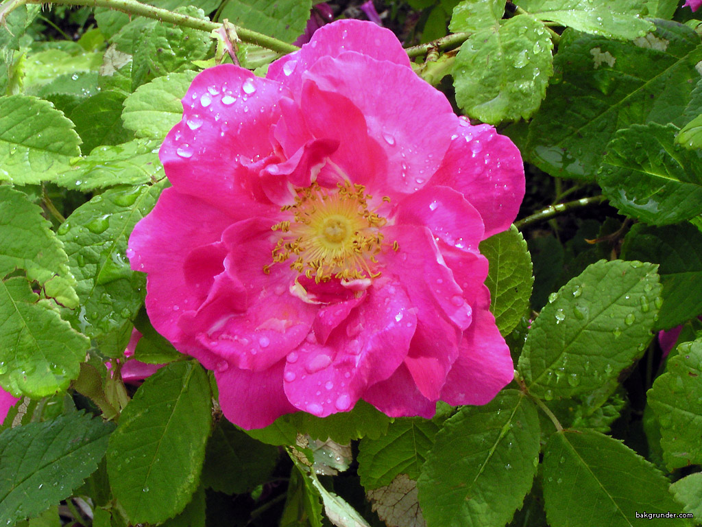 rosa-damascena-bifera